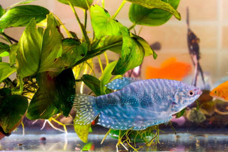 cichlid: Aquarium fish is swimming in the water with green plants Stock Photo