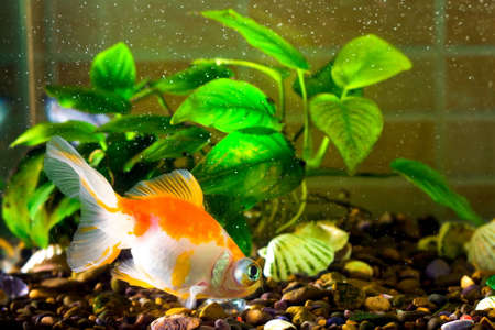cichlid: Aquarium fish goldfish is swimming in the water with green plants