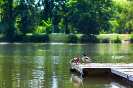 two ducks: Two ducks resting on a wooden wharf on a sunny day