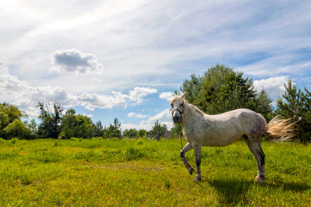 Beautiful white horse on pasture with green grass on bright sunny spring day