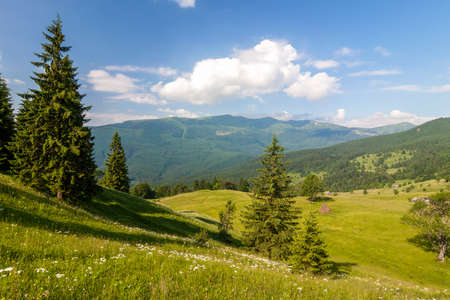 Panorama of Carpathian mountains in summer with lonely pine tree standing in front and puffy clouds and mountain ridges  landscape on background Stock Photo