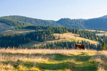 Summer landscape in the Carpathians with cow grazing on fresh green mountain pastures and  mountain tops in the background Stock Photo