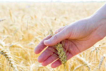 Wheat ears in womans hand. Field on sunset or sunrise. Harvest concept.