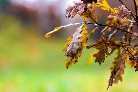 field maple: Small oak tree with yellow leaves in autumn