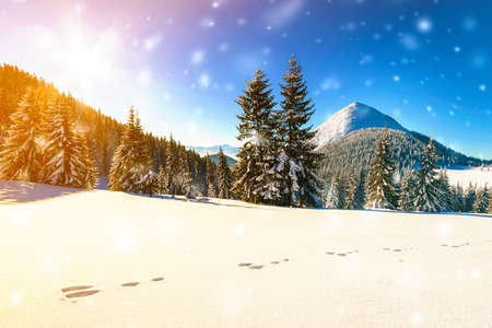 Beautiful winter panorama with fresh falling snow. Landscape with spruce pine trees, blue sky with sun light and high Carpathian mountains on background. Stok Fotoğraf