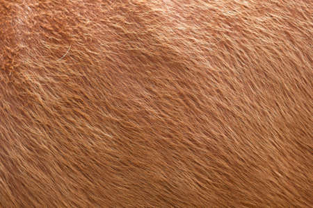 Close up of brown soft wool texture background. Natural fluffy fur of sheep, cow or calf. Warmth and comfort.