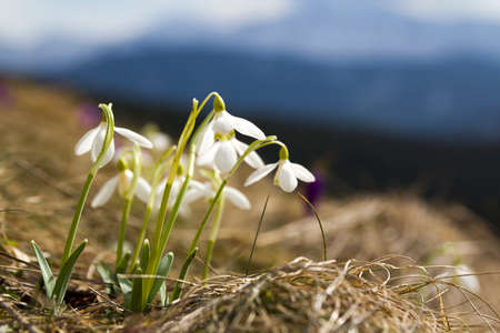 Group of beautiful tender snowdrops and one bright violet crocus growing together in dry grass in Carpathian mountains. Ecology problems and beauty of nature concept.