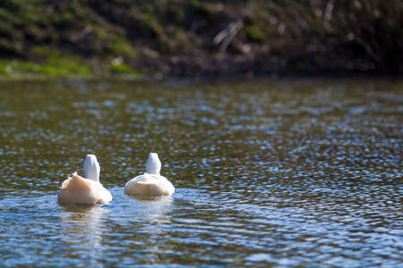 Two white big geese peacefully swimming together floating on the surface of quiet clear blue water. Beauty of birds, domestic poultry farming and wild life protection concept.