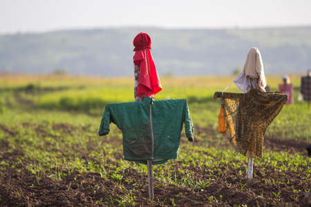 Close-up of two funny scarecrows guarding from birds tender green sprouts in plowed field on blurred bright sunny rural background. Farming, agriculture and traditional harvest protection concept.