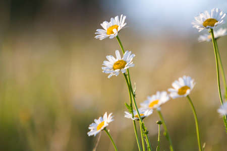 Close-up isolated group of tender beautiful wild white daises lit by morning sun growing on high stems in field or garden on blurred foggy soft green background. Beauty and harmony of nature concept. Stock Photo