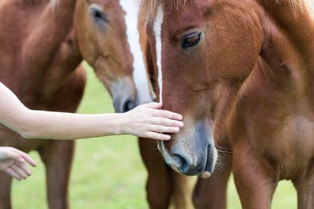 Close-up of young woman hand caressing beautiful chestnut horse head on blurred green sunny summer background. Love to animal, care, tenderness, friendship, faithfulness and farming concept.