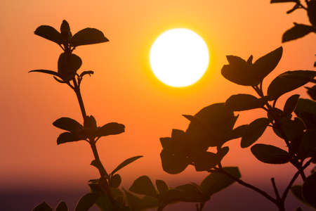 Beautiful contrast picture of clear silhouettes of tree branches with dark green leaves against big bright white sun on dramatic orange golden yellow sky background. Fantastic sunset or sunrise. Фото со стока
