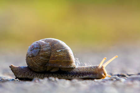 Close-up of big terrestrial snail with brown shell slowly crawling on bright blurred background. Use of mollusks as food and damage for agriculture concept.
