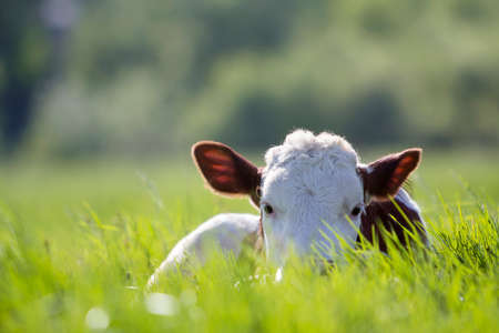 Close-up of white and brown calf looking in camera laying in green field lit by sun with fresh spring grass on green blurred background. Cattle farming, breeding, milk and meat production concept.