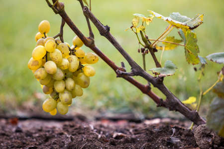 Close-up of vine branch with green leaves and isolated golden yellow ripe grape cluster lit by bright sun on blurred colorful bokeh copy space background. Agriculture, gardening and wine making. Archivio Fotografico - 108040484