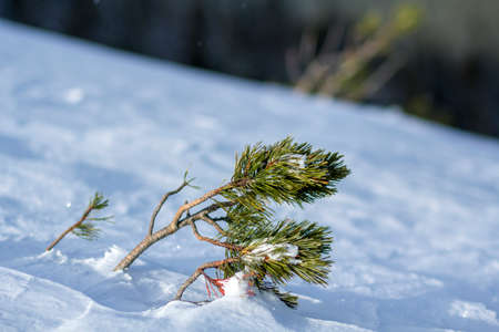 Young pine tree shoots with green long needles bent by wind covered with deep fresh clean snow on blurred white blue outdoors copy space background. Merry Christmas and Happy New Year greeting card. Stock Photo
