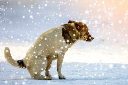 Dog goes to a toilet on the snow in winter