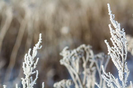 Frozen plants in early morning close up in winter.