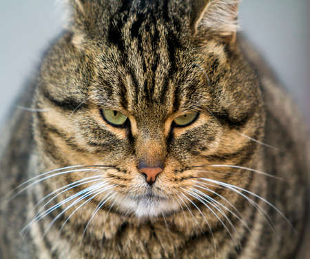 Portrait of a fat striped cat with green eyes 免版税图像