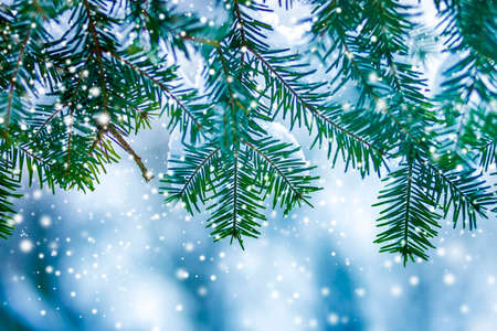 Pine tree branches with green needles covered with deep fresh clean snow on blurred blue outdoors copy space background. Merry Christmas and Happy New Year greeting postcard.