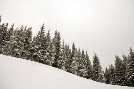 Black and white winter mountain New Year Christmas landscape. Tall pine trees covered with frost in deep clear snow in winter forest.