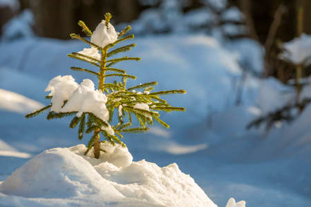 Young tender spruce tree with green needles covered with deep snow and hoarfrost on bright colorful copy space background. Merry Christmas and Happy New Year greeting card.