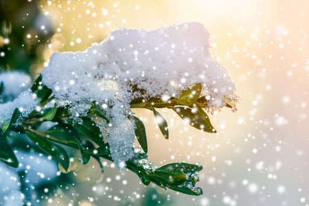 Close-up of bush brunch with small wet green leaves covered with thick snow on bright blurred sunny abstract copy space background. Postcard greeting New Year theme, beauty of nature concept. Stock Photo