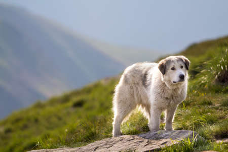 Big white shaggy grown clever shepherd dog standing alone on steep green grassy rocky mountain slope on sunny summer day on copy space background of bright blue clear sky. Stock Photo