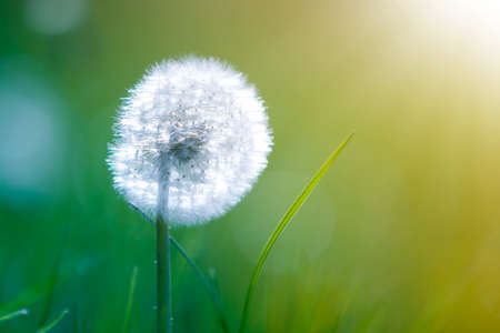 Closeup picture of beautiful overblown white puffy flower dandelion with tiny black seeds standing alone on high stem on blurred green bokeh background. Beauty and tenderness of nature concept. Imagens