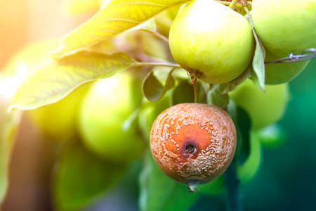 Close-up of lit by bright sun brunch with nice big ripe green and bad rotten apples in orchard on soft foggy colorful background. Farming, agriculture, ecology and remedy for trees diseases concept.