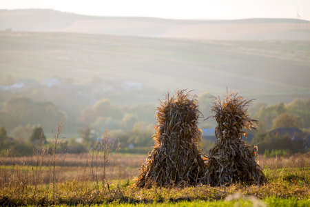 Dry corn stalks golden sheaves in empty grassy field after harvest on foggy hills and cloudless blue sky copy space background at fall. Peaceful misty landscape, rural autumn panorama.