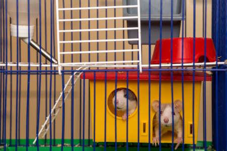 Due divertenti criceti bianchi e grigi addomesticati curiosi con gli occhi lucidi che guardano dalla gabbia gialla brillante dietro le sbarre di metallo. Mantenere gli amici animali a casa, prendersi cura e amare il concetto di animali.