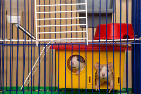 Two funny white and gray tame curious mouses hamsters with shiny eyes looking from bright yellow cage behind metal bars. Keeping pet friends at home, care and love to animals concept.