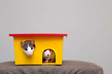Two funny white and gray tame curious mouses hamsters with shiny eyes looking from bright yellow cage window. Keeping pet friends at home, care and love to animals concept. Stockfoto