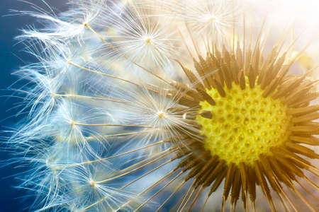 Dandelion flower seed closeup with blurred background Banco de Imagens
