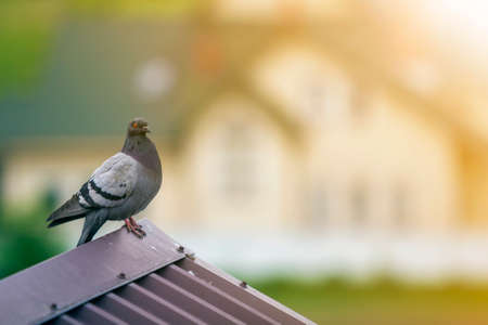 Close-up portrait of beautiful big gray and white grown pigeon with orange eye perching on the edge of brown metal tile roof on blurred bright green bokeh background. Stok Fotoğraf