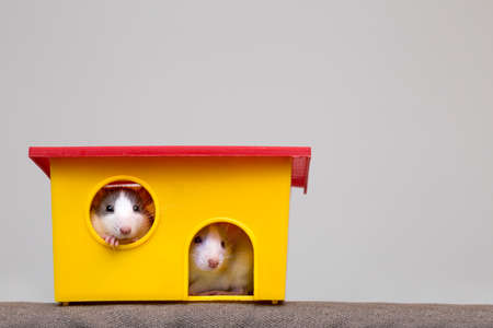 Two funny white and gray tame curious mouses hamsters with shiny eyes looking from bright yellow cage window. Keeping pet friends at home, care and love to animals concept. Banco de Imagens