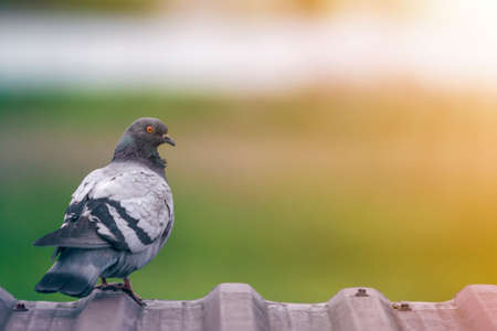 Close-up portrait of beautiful big gray and white grown pigeon with orange eye perching on the edge of brown metal tile roof on blurred bright green bokeh background. Фото со стока