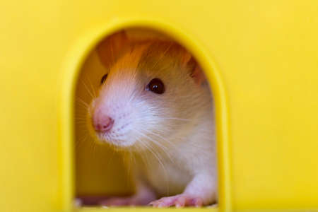 Funny young white and gray tame curious mouse hamster baby with shiny eyes looking from bright yellow cage window. Keeping pet friends at home, care and love to animals concept. Stockfoto