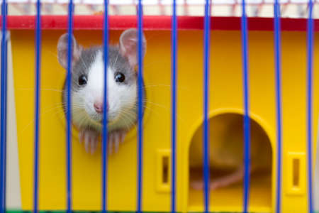 Funny young white and gray tame curious mouse hamster baby with shiny eyes looking from bright yellow cage through bars. Keeping pet friends at home, care and love to animals concept.