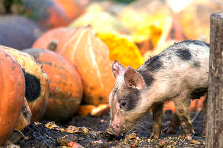 Small young funny dirty pink and black pig piglet feeding outdoors on sunny farmyard on background of pile of big pumpkins. Sow farming, natural food production. Imagens