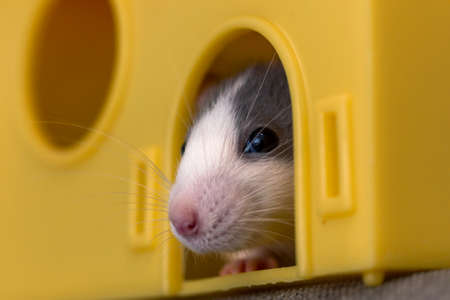 Portrait head of white and gray tame mouse hamster with shiny eyes looking from bright yellow cage on light copy space background. Keeping pets at home, care and love to animals concept.