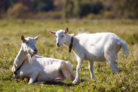 Two white bearded goats grazing in green meadow grass on bright sunny summer day. Stock Photo
