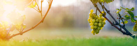 Close-up of growing young vine plants tied to metal frame with green leaves and big golden yellow ripe grape clusters on blurred sunny colorful bokeh background. Agriculture and gardening concept 免版税图像