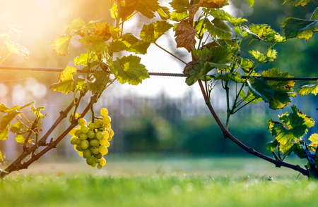 Close-up of growing young vine plants tied to metal frame with green leaves and big golden yellow ripe grape clusters on blurred sunny colorful bokeh background. Agriculture and gardening concept 写真素材