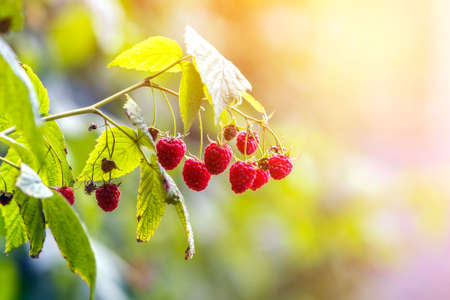 Close-up of isolated lit by summer sun growing branch of beautiful ripe red juicy raspberries with fresh green leaves on bright light blurred copy-space background. Agriculture, farming, healthy food.