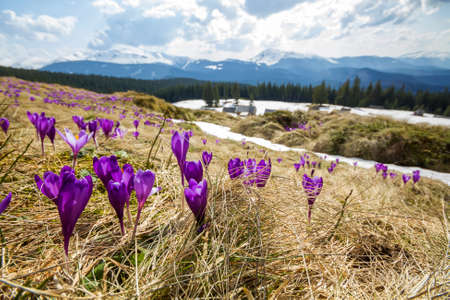 Close-up of beautiful first spring flowers, violet crocuses blooming in Carpathian mountains on bright spring morning on blurred sunny golden background. Protection of nature concept.