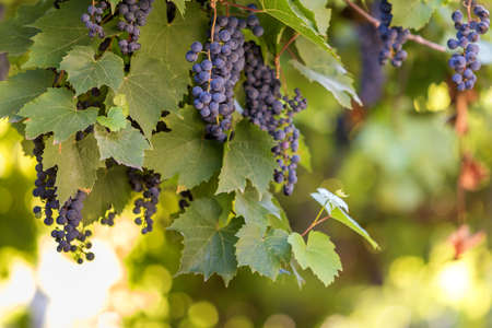 Close-up of vine plant with green leaves and dark blue ripening grape clusters lit by bright sun on blurred colorful bokeh copy space background. Agriculture, gardening and wine making concept.