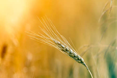 Close-up of warm colored golden yellow ripe focused wheat head on sunny summer day on soft blurred foggy meadow wheat field light brown background. Agriculture, farming and rich harvest concept.