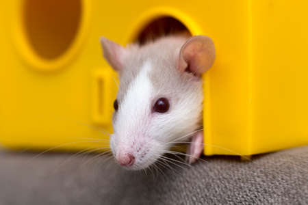 Funny young white and gray tame curious mouse hamster baby with shiny eyes looking from bright yellow cage window. Keeping pet friends at home, care and love to animals concept. Imagens